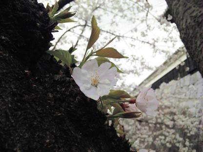 幹から桜s