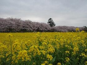 権現堂桜堤2