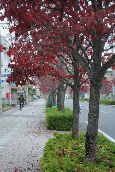 「幸手東さくら通り」2010秋001