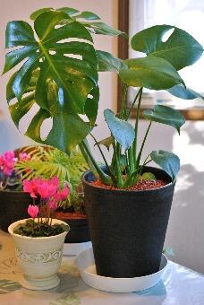 りふれ整体院「観葉植物001」