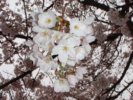 幸手上高野神社の桜