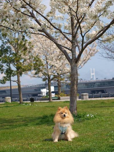 桜の下、うさマリンちゃんと
