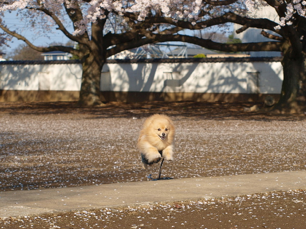 忠恩寺で飛行犬