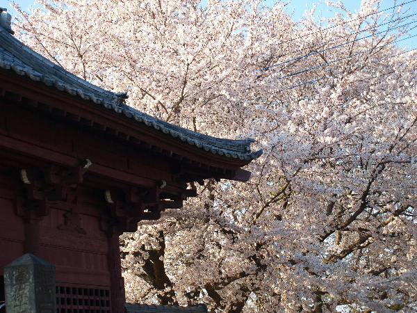 忠恩寺の桜