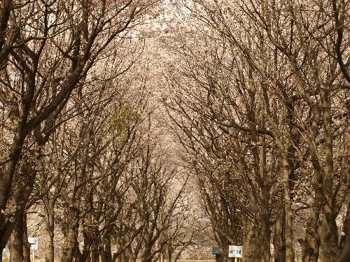 設定を変えて桜のトンネル