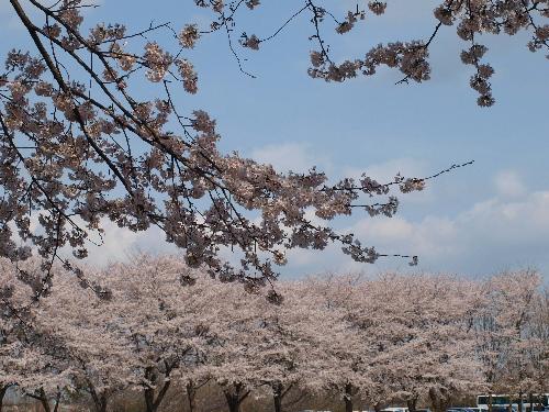 トンネルから見た桜