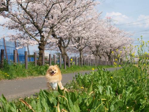 桜並木の小道?