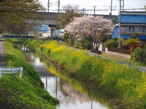 桜と菜の花、川に映る