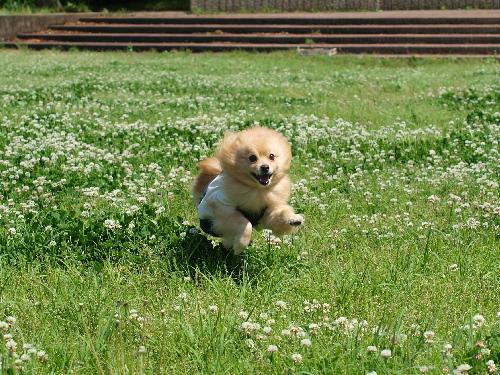 白爪草 走る走る!
