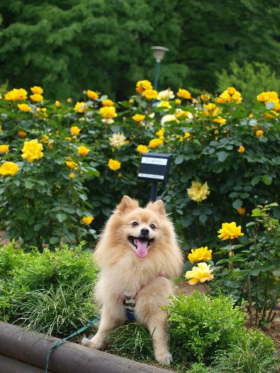黄色いバラとレオ