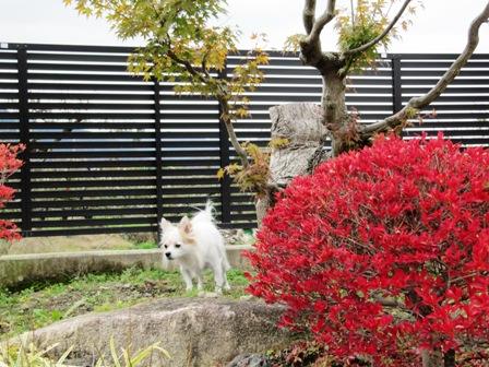お庭の紅葉。