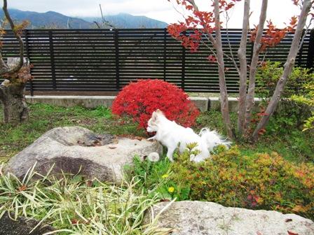 お庭の紅葉3