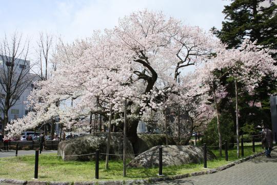 満開のウラ石割桜
