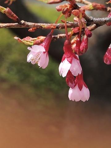 480P3221747琉球寒緋桜.