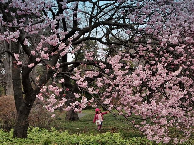 640P3221764s椿寒桜