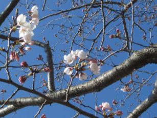 CIMG8287 桜
