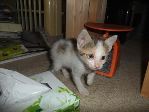 子猫 三毛ブチ