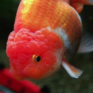 選別魚!!更紗らんちゅう02