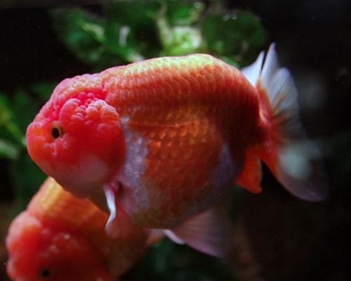 選別魚!!更紗らんちゅう01
