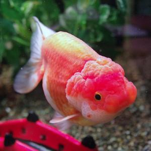 選別魚!!更紗らんちゅう