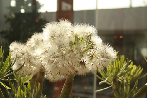 Kleinia-neriifolia-01.jpg