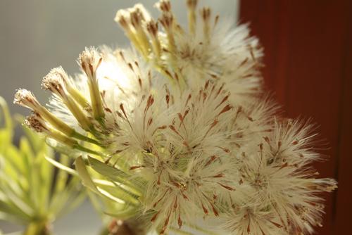 kleinia-neriifolia-02.jpg