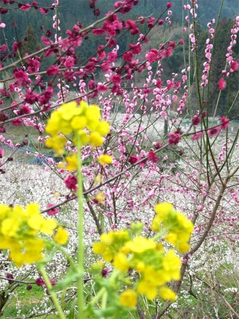 菜の花が春を感じさせます。