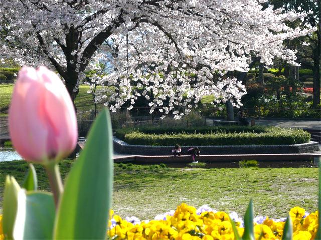 「綺麗な桜じゃて」チューリップさんのつぶやきが聞こえてきます