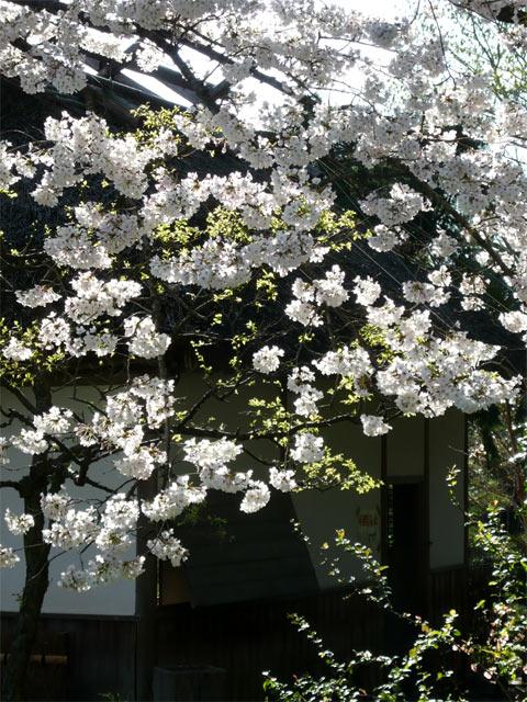 民家と桜と木漏れ日 最高です