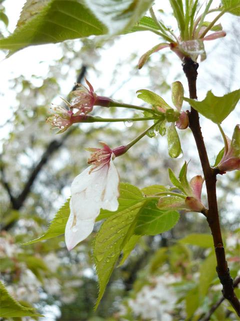 桜も泣いております