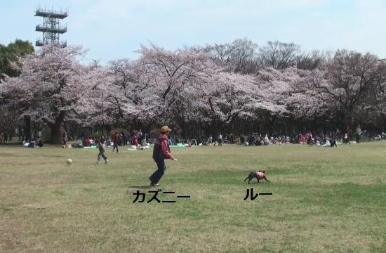 桜とルーとカズニーと