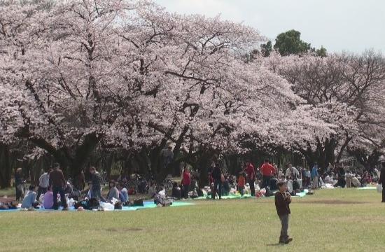桜、キレイ~