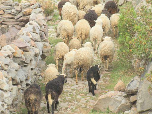 羊がたくさん