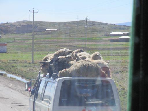 屋根の上の羊達