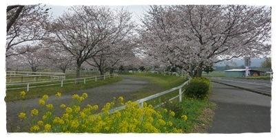 馬事公苑 桜並木