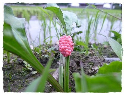 ピンクのたまご