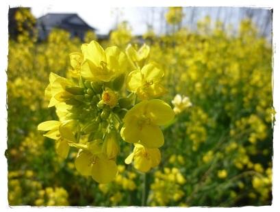 黄色♪(菜の花)