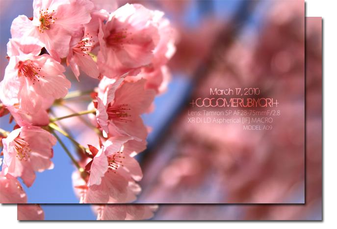 カンヒ桜2