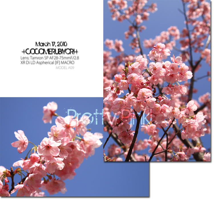 カンヒ桜3