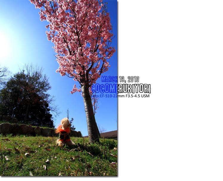 ココナ桜2