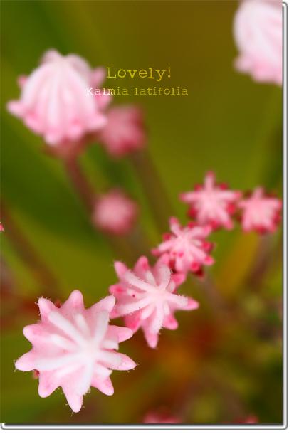 Kalmia-latifolia.jpg