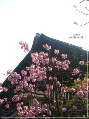 CIMG1640sakura.jpg