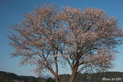 山桜と高千穂の峰