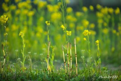 ツクシと菜の花
