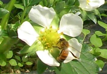 苺とミツバチ