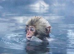 ヌルヌル系の温泉に入る猿