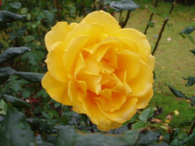 須磨薔薇3