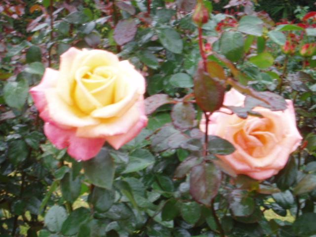 須磨薔薇4