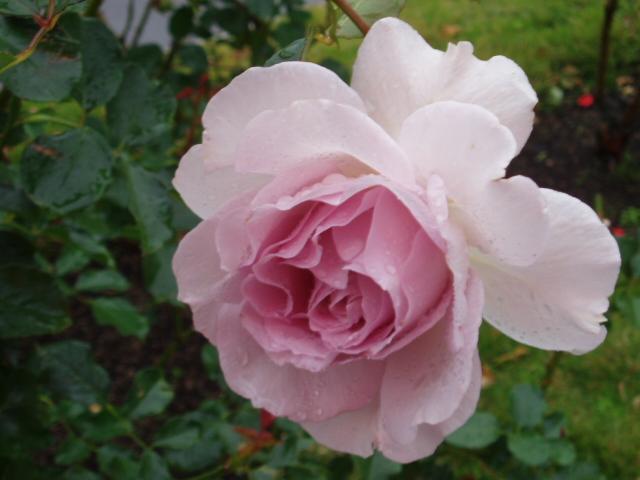 須磨薔薇2