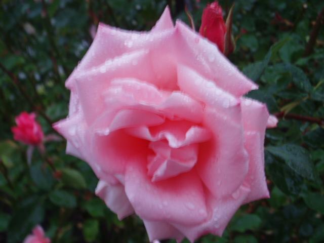 須磨薔薇5